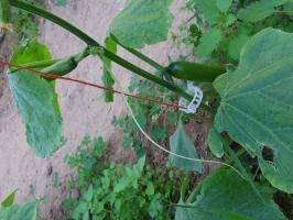 Καλλιέργεια Αγγουριάς