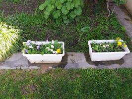 Πανσέδες σε φυτοδοχεία