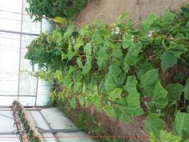 Θερμοκηπιακές καλλιέργειες